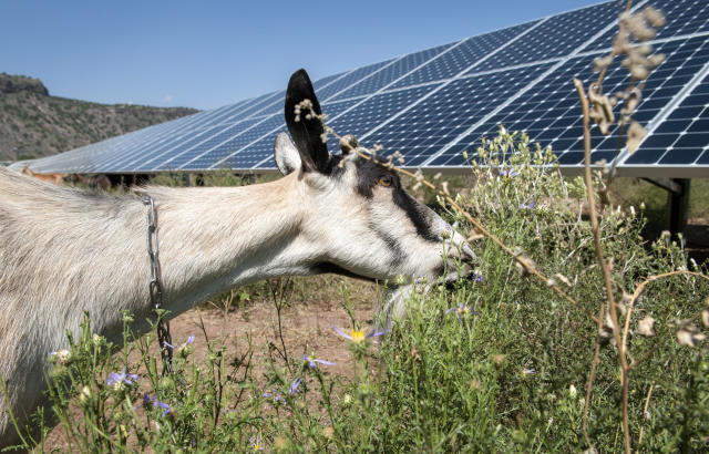 60 Horned Locust Goatscaping goats/sheep munch weeds at  BDD Booster Station 2A's 1.5 MW solar array