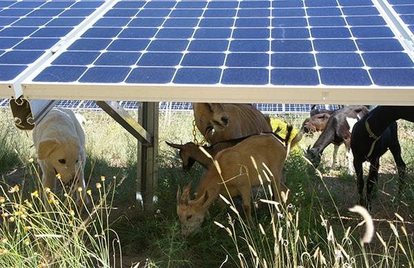 Goatscaping at BDD's Solar Array
